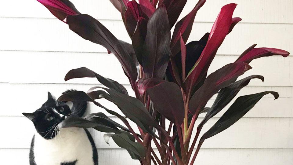 Plant Portrait: Hawaiian Ti