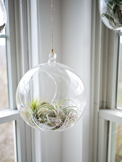 Hanging glass planter with air plants