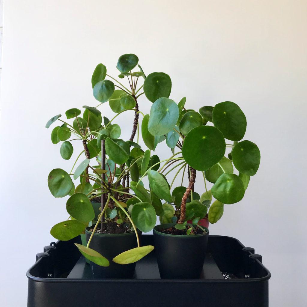 Pilea peperomioides family