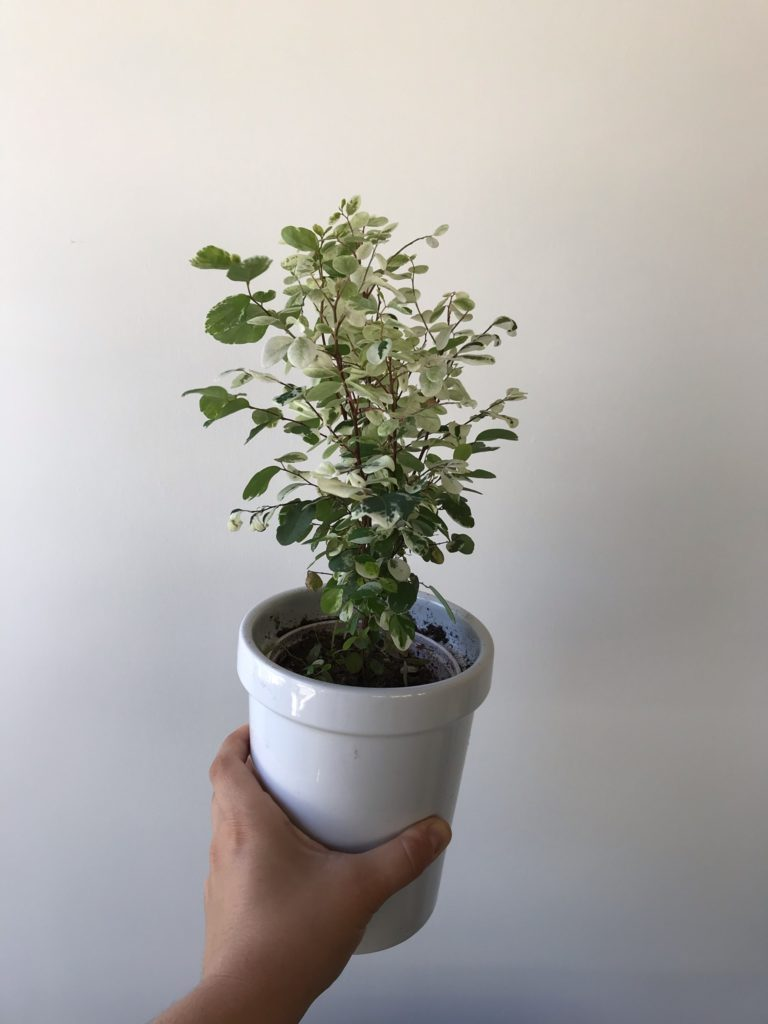 breynia nivosa : leaf and paw pet safe houseplants