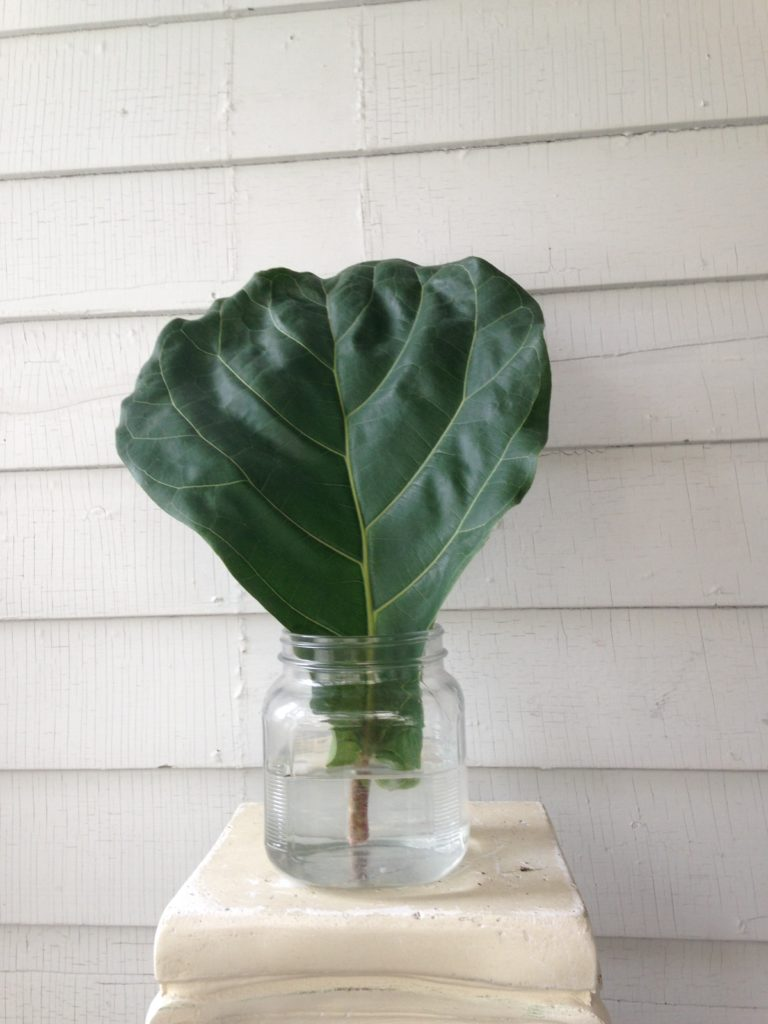 Single leaf Fiddle Leaf Fig propagation  - Leaf and Paw
