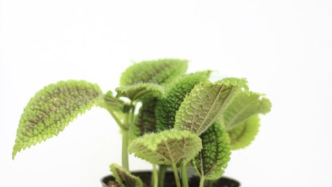 Pilea Party: A Guide to Pilea