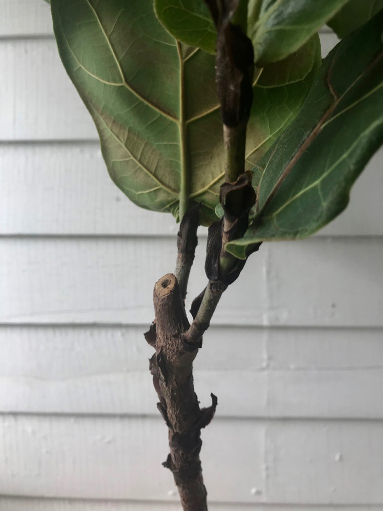 Fiddle Leaf Fig cutting - Leaf and Paw