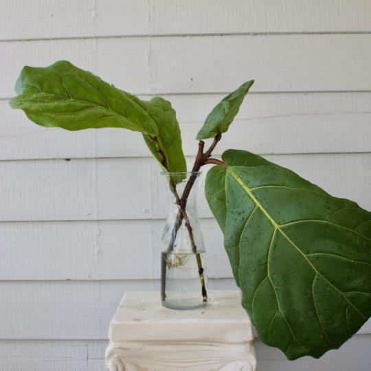 Propagate a Fiddle leaf fig in water