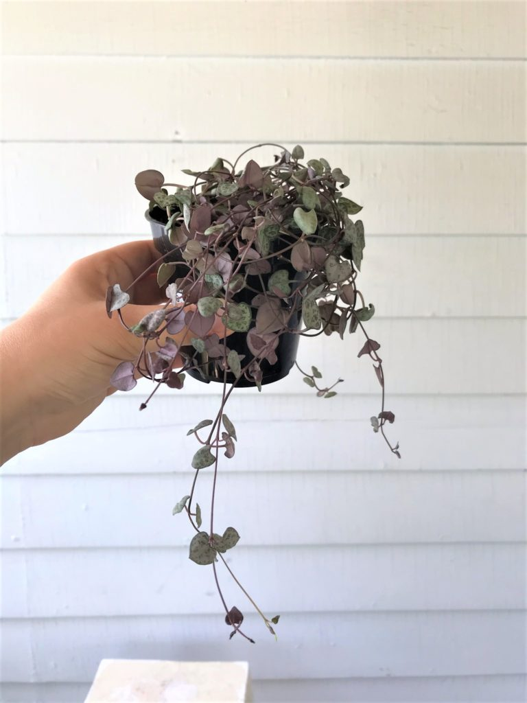 string of hearts : leaf and paw pet safe houseplants