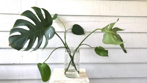 Illustrated Propagation: Monstera Deliciosa