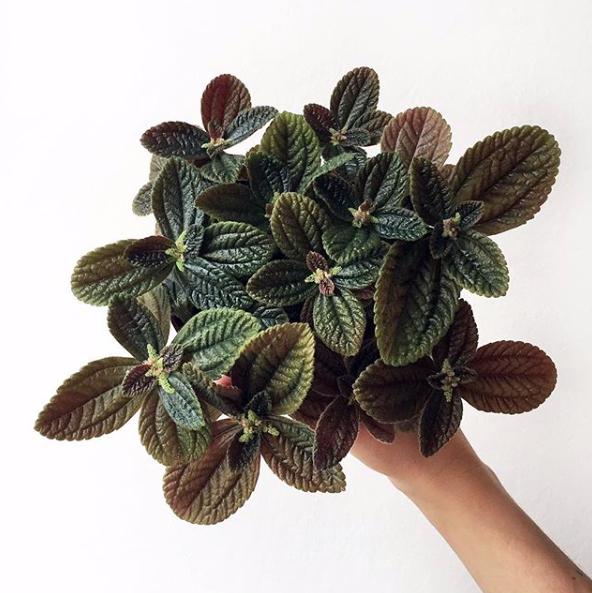 Norfolk Friendship Plant - Pilea varieties
