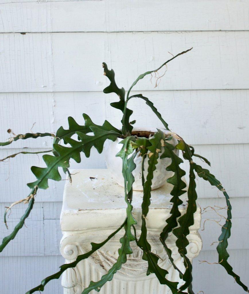 Fishbone cactus : leaf and paw pet safe houseplants