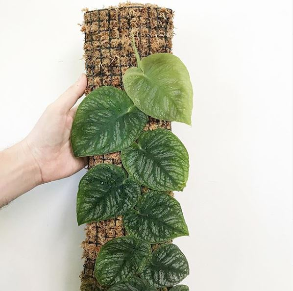 Monstera dubia - leaf and paw