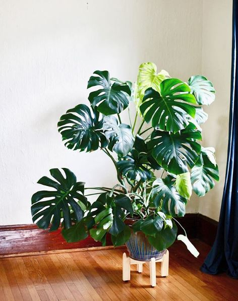 Mature Monstera deliciosa - leaf and paw