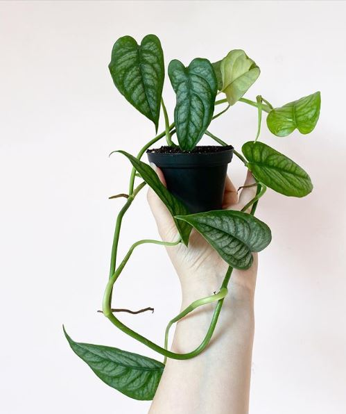 Monstera siltepecana - leaf and paw