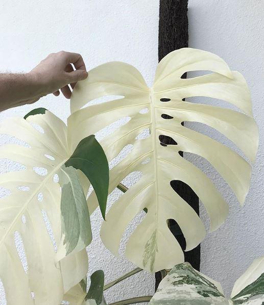 White leaf Monstera deliciosa albo