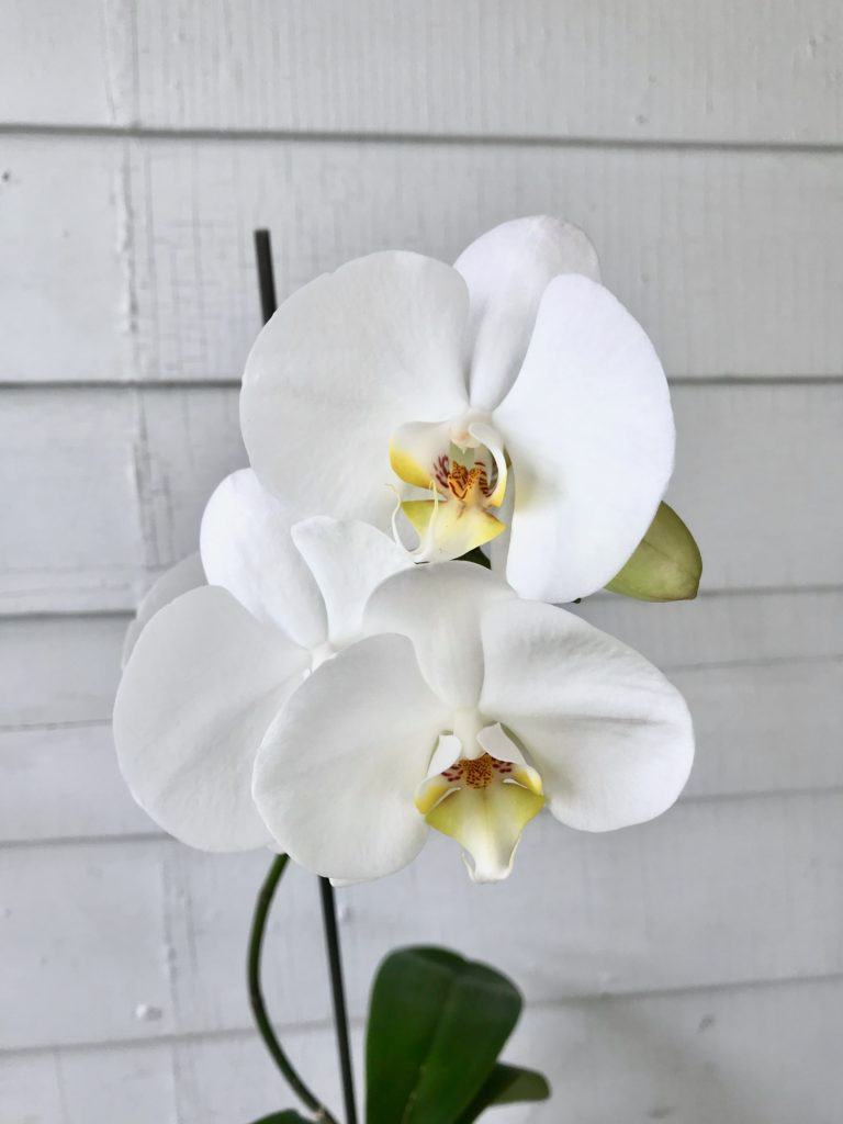 Orchid flowering : leafandpaw.com