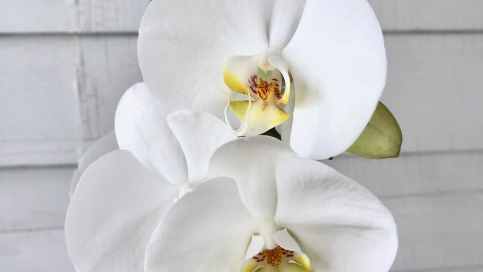 Why Your Orchid Isn't Blooming