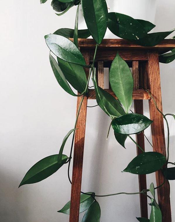 "Carnosa ""Jade"" : leafandpaw.com"