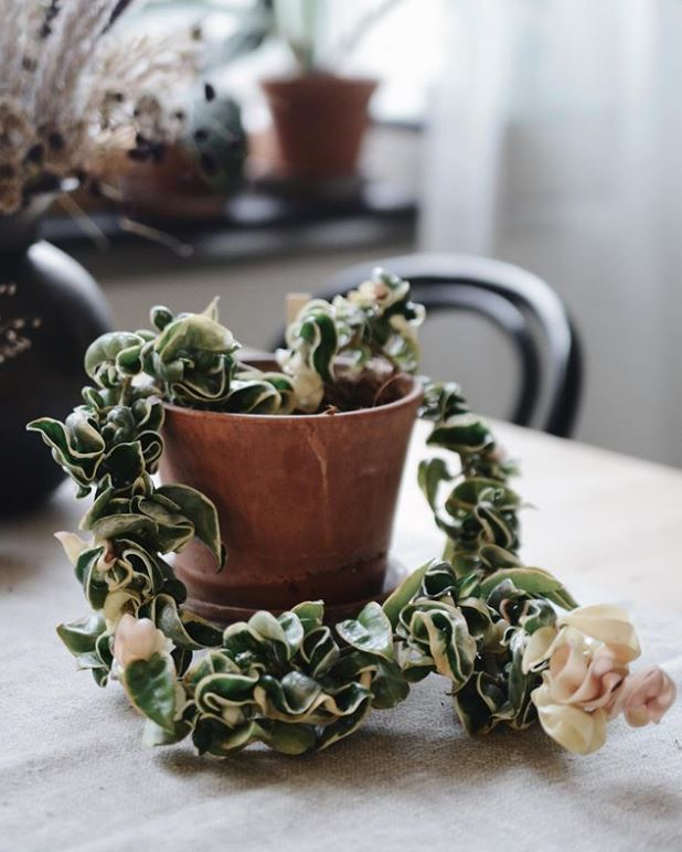 Hoya compacta variegated : leafandpaw.com
