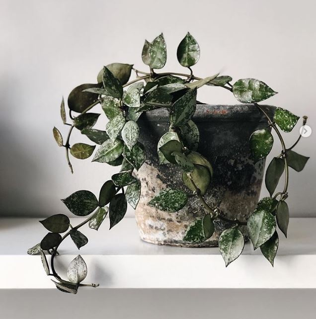Hoya krohniana variegated  : leafandpaw.com