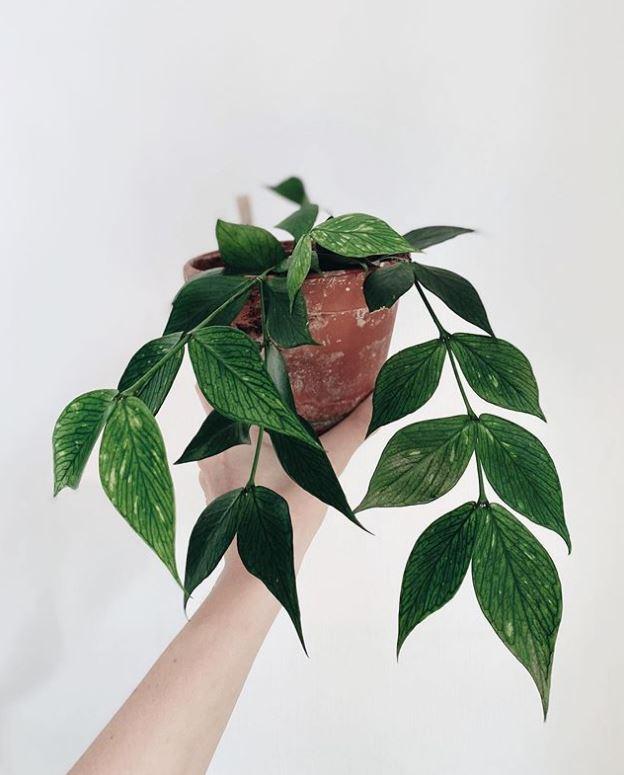 Hoya polyneura : leafandpaw.com