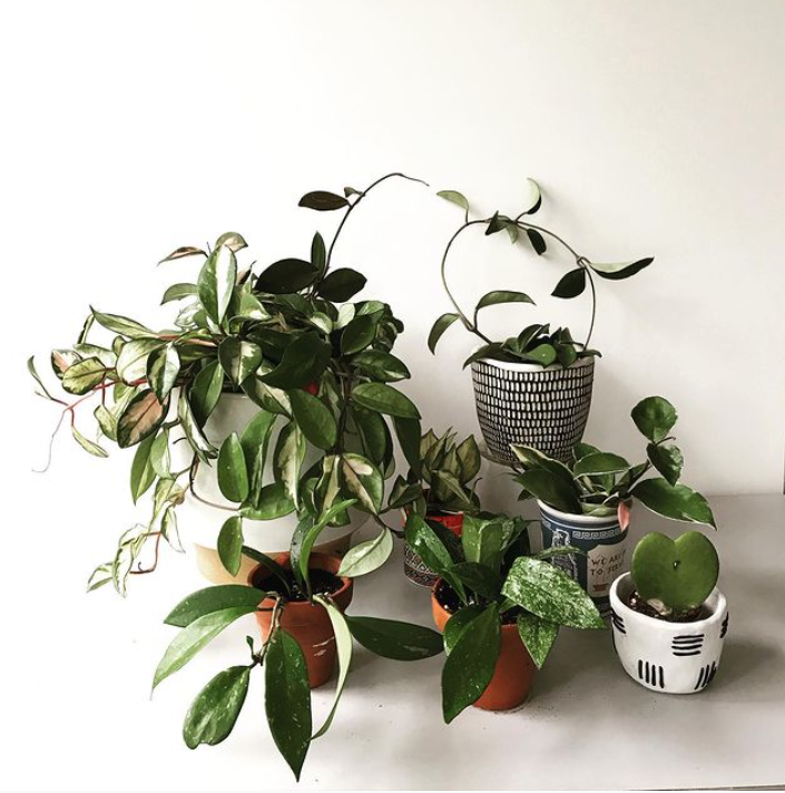 Pet-safe hoya plants