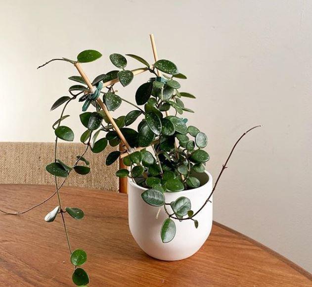 Hoya mathilde : leafandpaw.com